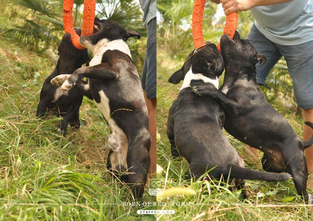 2016-09-12-staffbulls-ru-10