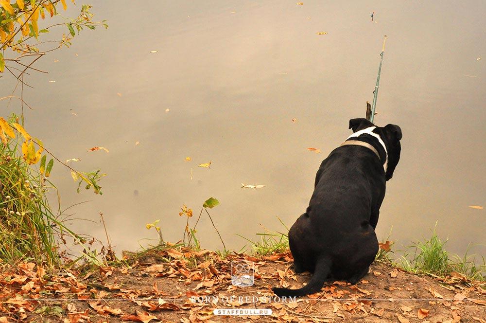 2016-10-25-staffbulls-ru-3-jpg